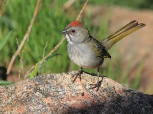Green-tailed Towhee by Kenneth Cole Schneider via Flickr CC