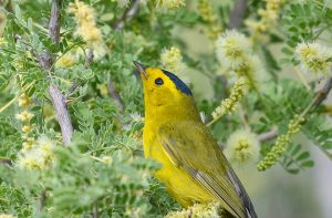 Wilson's Warbler in a catclaw acacia by Marshal Hedin from Flickr CC