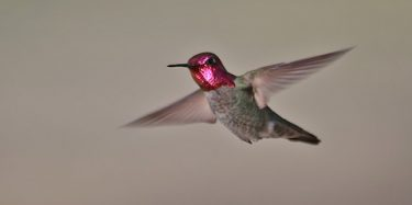 Anna's Hummingbird by Richard Fray