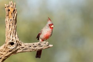 Pyrrhuloxia by Mick Thompson Flickr CC